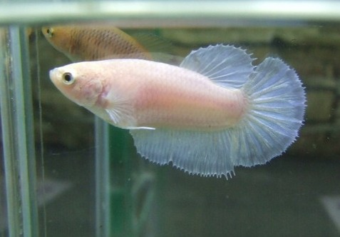 Halfmoon Fighting Fish ML - female
